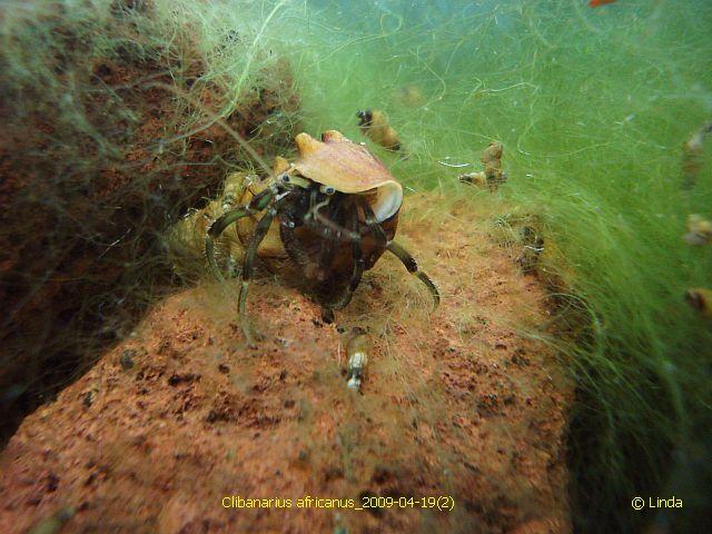 Солоноватоводный (солноводный) аквариум Clibanarius_africanus_2009-04-192